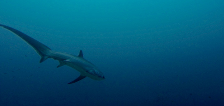 A thresher shark glides into the blue on Monad Shoal, Malapascua.