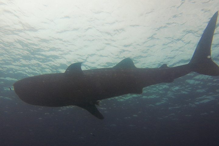 Whale shark off Kapoposang.